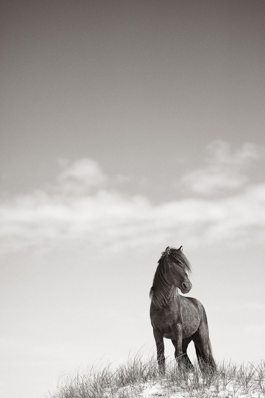 Sable-Island-Wild-Horses-Drew-Doggett-Spirit-at-Dawn.jpg