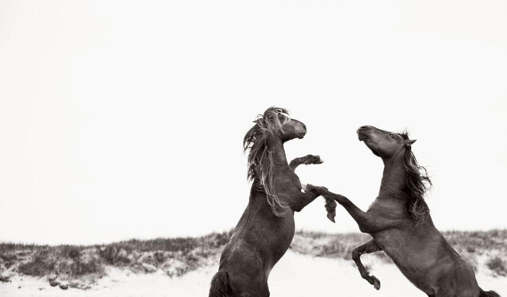 Sable-Island-Wild-Horses-Drew-Doggett-The-Dance.jpg