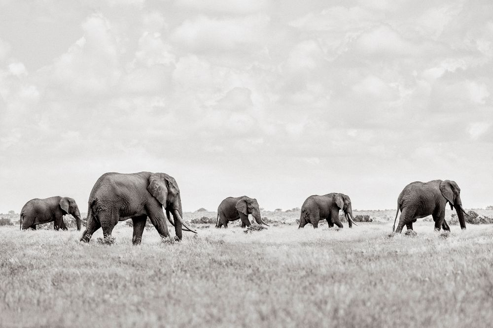 Colossal-Shadows-Super-Tuskers-of-East-Africa-Drew-Doggett-Leading-The-Way.jpg