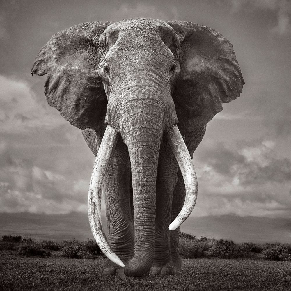 Colossal-Shadows-Super-Tuskers-of-East-Africa-Drew-Doggett-Silent Giant.jpg