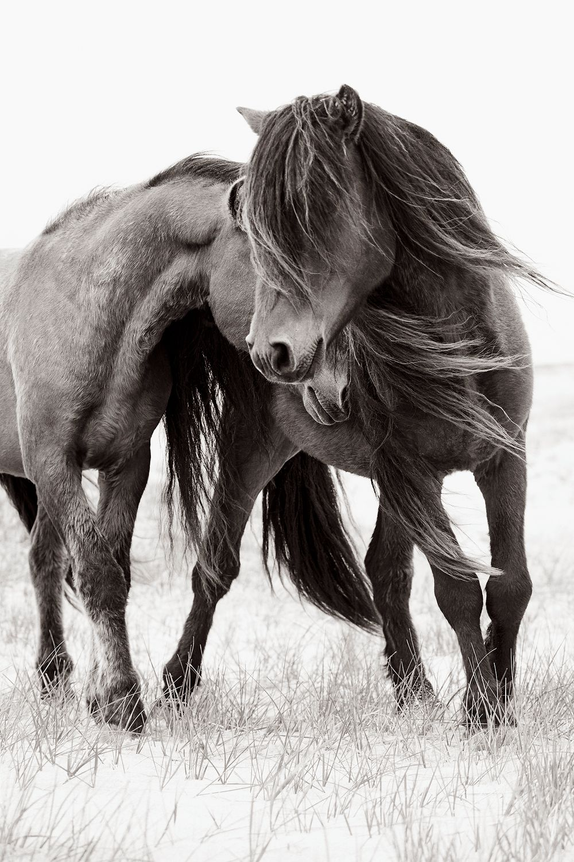 Sable-Island-Wild-Horses-Drew-Doggett-Caress.jpg