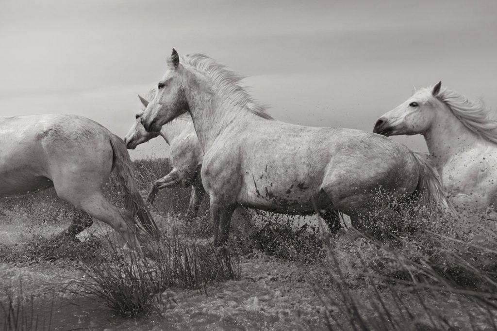 White-Horses-Camargue-Drew-Doggett-Titans-1024x683.jpg